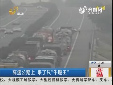 """青岛:高速公路上 来了只""""牛魔王"""""""