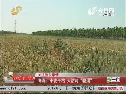 """【关注胶东旱情】青岛:小麦干枯 大沽河""""喊渴"""""""
