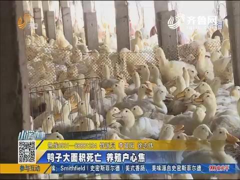梁山:鸭子大面积死亡 养殖户心焦