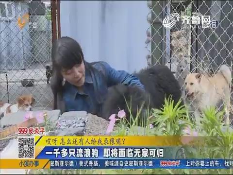 济南:一千多只流浪狗 即将面临无家可归