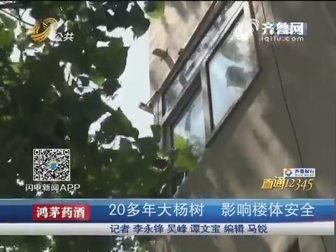 【直通12345】青岛:20多年大杨树 影响楼体安全