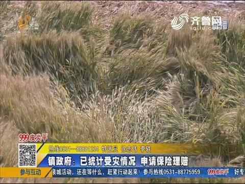 济南:大风过后一千三百多亩小麦倒伏