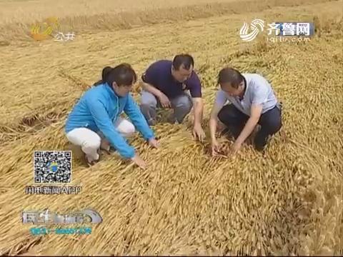临清:6月2日夜强降雨致4成小麦倒伏严重
