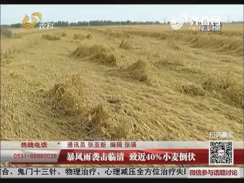 暴风雨袭击临清 致近40%小麦倒伏