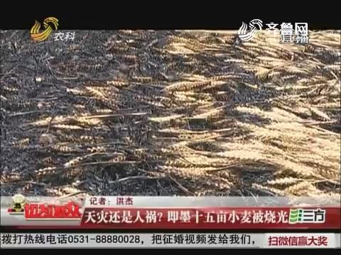天灾还是人祸?即墨十五亩小麦被烧光