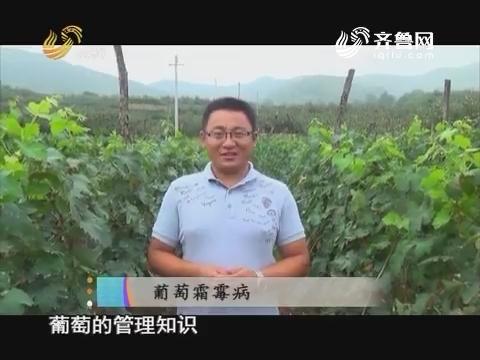 20170604《当前农事》:葡萄霜霉病