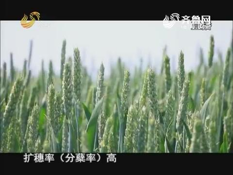 20170605《当前农事》:山农31号小麦新品种观摩会