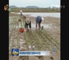 青岛海水稻首次试种400亩