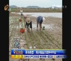青岛即墨:海水稻首次试种400亩