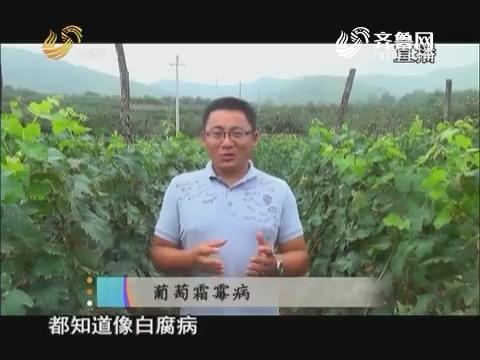 20170607《当前农事》:葡萄霜霉病