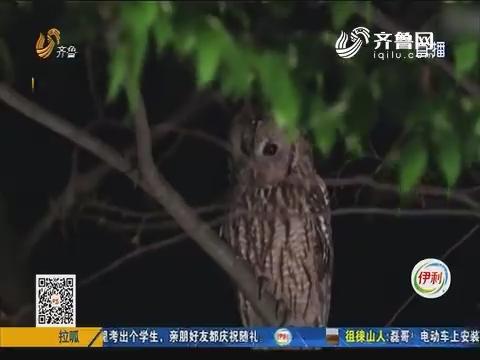 """沂源:闹了半天 """"暴徒""""是只猫头鹰"""