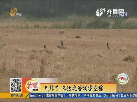 """平原县:玉米苗遭殃 """"凶手""""是一群喜鹊"""