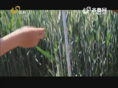 20170616《当前农事》:山农31号邹平现场观摩会