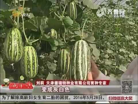 """【群众新闻】天津:博洋甜瓜 """"吃瓜群众""""最喜欢"""