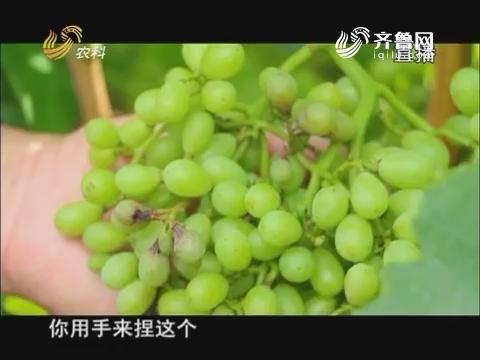 """20170620《当前农事》:葡萄园里来""""说媒"""""""