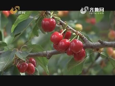 20170620《品牌农资龙虎榜》:临朐 一年回本的樱桃