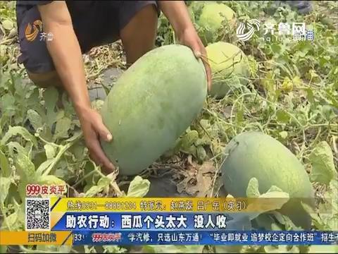 【急事急办】齐河:助农行动 西瓜个头太大没人收