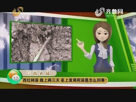 庄稼医院远程会诊:西红柿苗栽上两三天 茎上发黑死苗怎么回事?