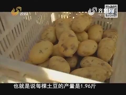 沃夫特示范田 我是高产王—滕州土豆实地测产