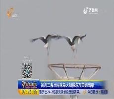 黄河三角洲迎来最大规模东方白鹳出巣