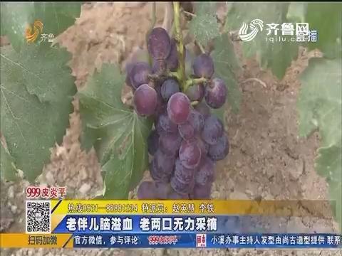 荏平县:4亩葡萄已经熟透 肉多汁甜惹人爱