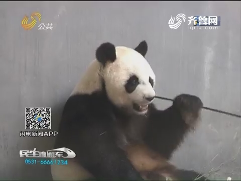 """青岛""""脱毛裤""""大熊猫笑翻网友 沉寂多年终于一夜走红"""