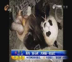 """青岛""""脱毛裤""""大熊猫一夜走红"""