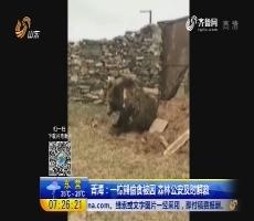 青海:一棕熊偷食被困 森林公安及时解救
