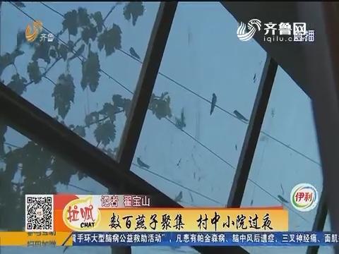 梁山:数百燕子聚焦 村中小院过夜
