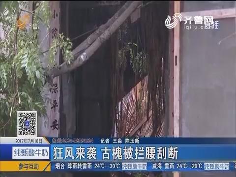 莱芜:狂风来袭 古槐被拦腰刮断