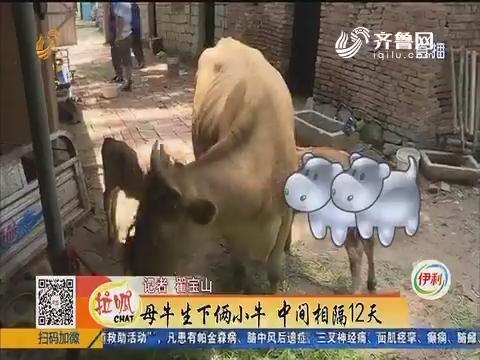 济南:母牛生下俩小牛 中间相隔12天