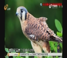调查:非法贩卖猛禽内幕调查
