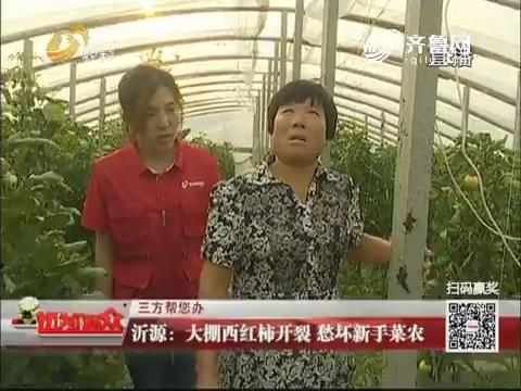 【三方帮您办】沂源:大棚西红柿开裂 愁坏新手菜农