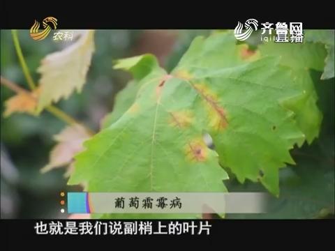 20170802《当前农事》:葡萄霜霉病