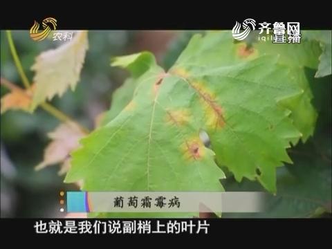 20170803《当前农事》:葡萄霜霉病