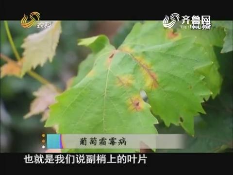 20170809《当前农事》:葡萄霜霉病