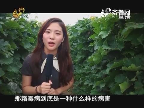 20170810《当前农事》:葡萄霜霉病