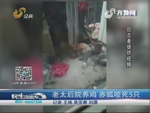 济南:老太后院养鸡 赤狐咬死5只