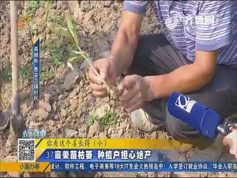泰安:37亩姜苗枯萎 种植户担心绝产