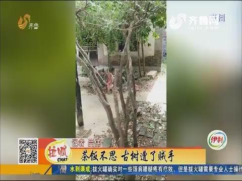 济南:茶饭不思 古树遭了贼手