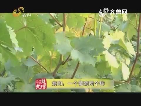 20170814《品牌农资龙虎榜》:海阳 一个葡萄两个样