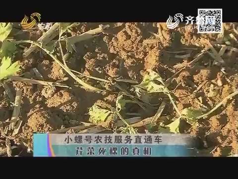 小螺号农技服务直通车——芹菜死棵的真相