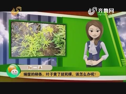 庄稼医院远程会诊:编筐的柳条,叶子黄了就死棵,改怎么办呢?
