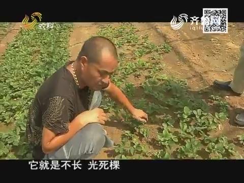 小螺号农技服务直通车:谨防草莓死棵