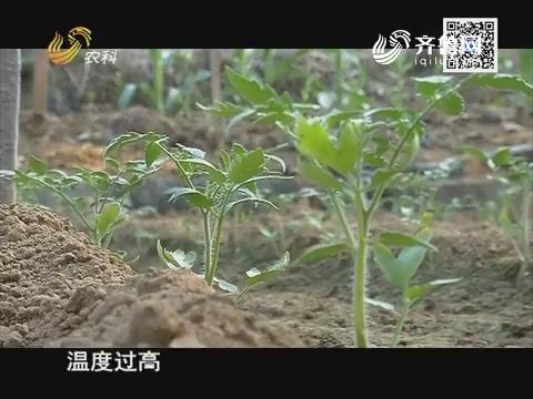 天下五谷果蔬保姆在行动:番茄种植季 合理种植巧管理