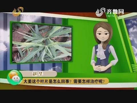 庄稼医院远程会诊:大姜这个叶片是怎么回事?需要怎样治疗呢?