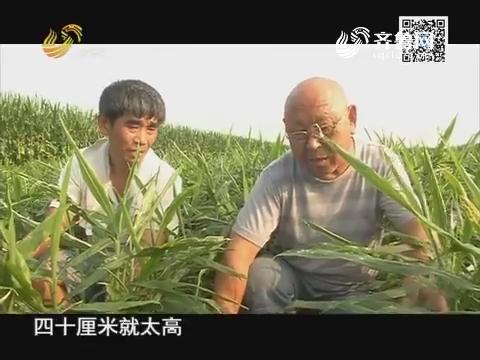 金牌经销商 第一现场:大姜要培土 更要防肥害