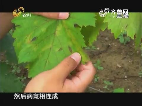 20170817《当前农事》:葡萄霜霉病