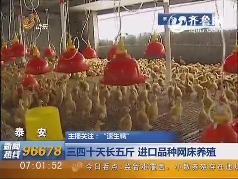 """【主播关注""""速生鸭""""】泰安:  三四十天长五斤  进口品种网床养殖"""