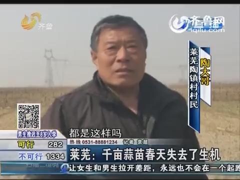莱芜:千亩蒜苗春天失去了生机